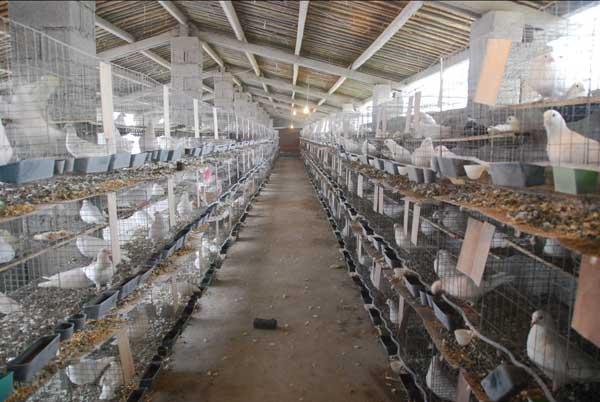 白羽王鸽的养殖管理技术