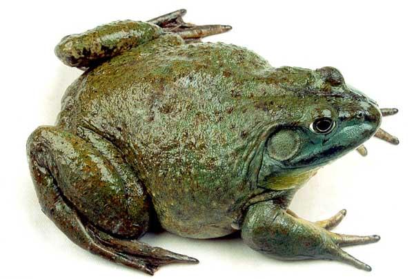牛蛙的养殖成本