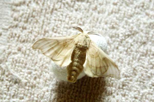 蚕怎么分公母-蚕的生长过程图片
