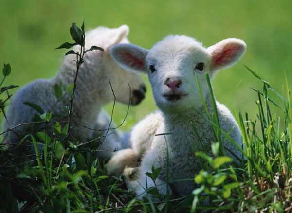 科学养羊技术