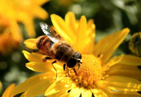 蜜蜂的特点有哪些?