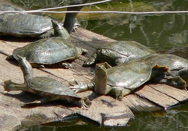 甲鱼养殖场的建设方案