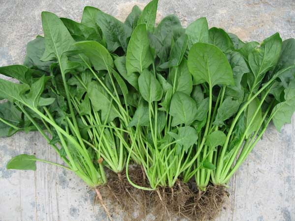 菠菜的种植时间