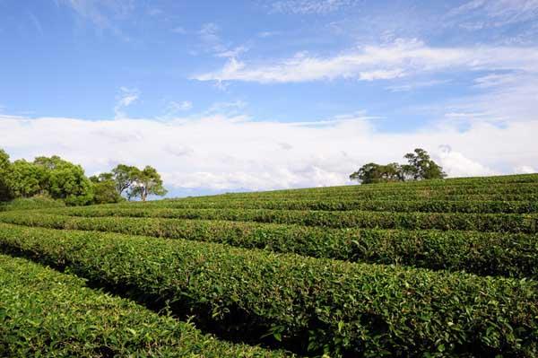 茶树的修剪技术