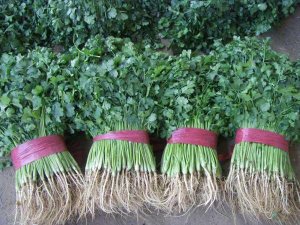 香菜种植技术