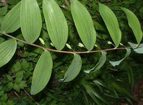 玉竹的功效与作用及食用方法