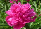 芍药花的花语是什么?