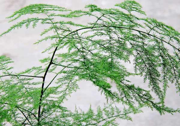 文竹怎么养才能生长得好?