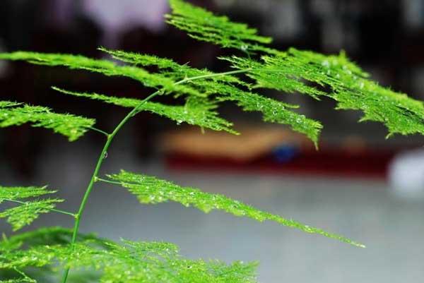 文竹的养殖方法