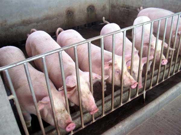 规模化养猪效益分析