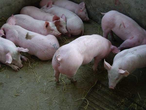 仔猪水肿病防治方法