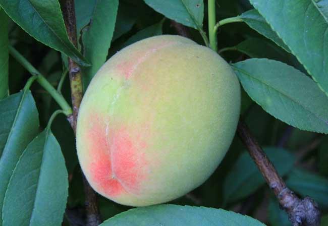 孕妇能吃桃子吗?