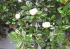 玉兰树种植技术