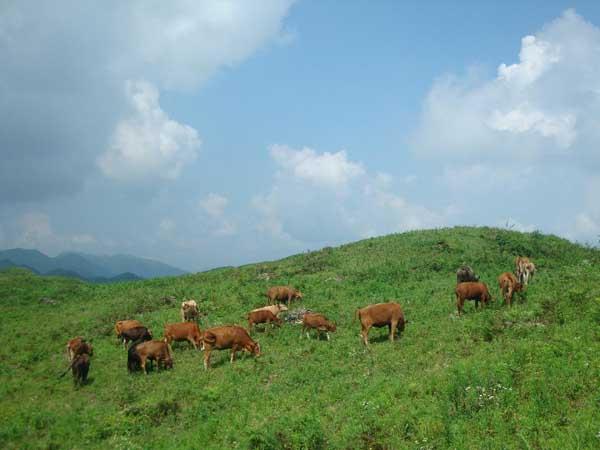 贵州养牛赚钱吗?