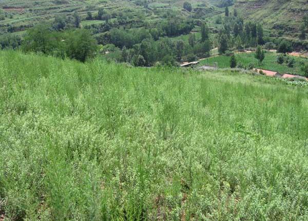 中药材种植业前景怎么样?