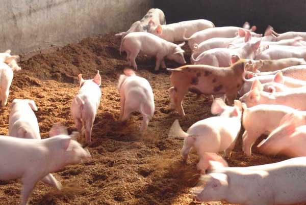 仔猪断奶后喂食技术