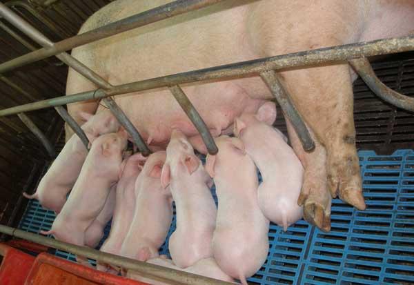 母猪产前不吃食怎么办?