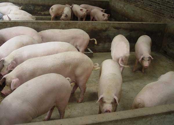 猪群蓝耳病的鉴别方法