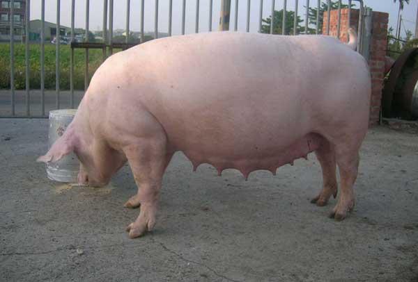 猪养殖场常见问题及解答