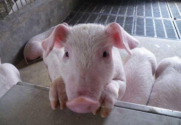 鸡粪饲喂生猪时的注意事项