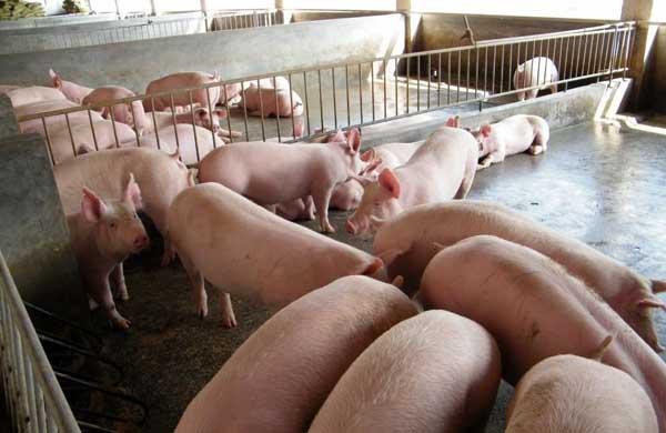 如何提高养猪经济效益?