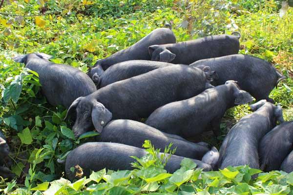 家庭养猪如何做到日长二斤