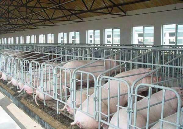 母猪的分类催乳技术