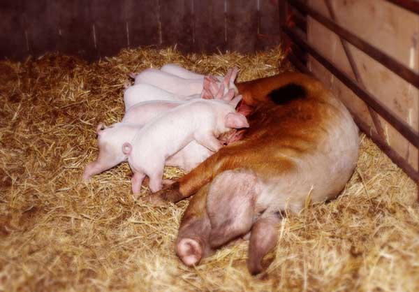 临产前母猪有哪些表现?