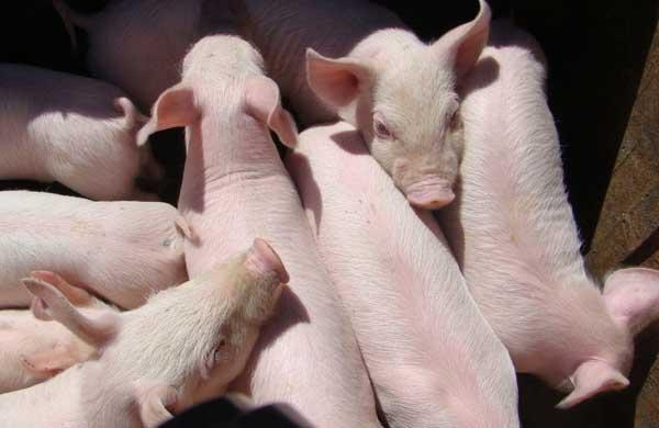 三元杂交瘦肉猪的养殖管理技术