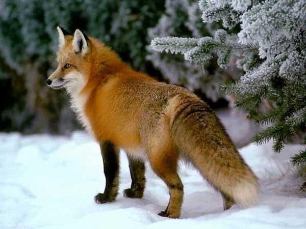 狐狸养殖技术