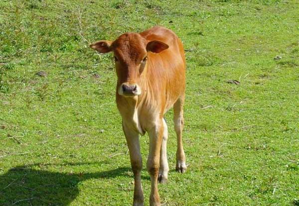 冬季如何对牛进行驱虫