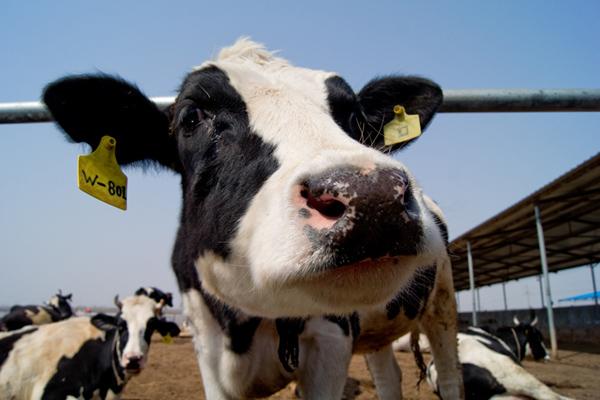 牛瘤胃膨胀防治方法