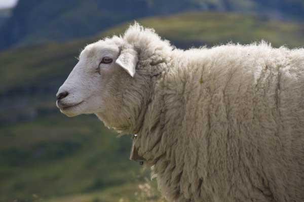 母羊缺乳的预防措施