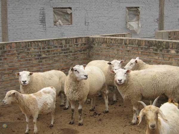 小尾寒羊快速育肥技术