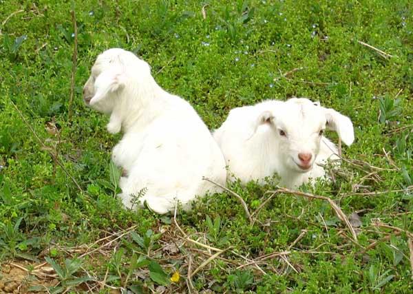 新生小羔羊管理技术