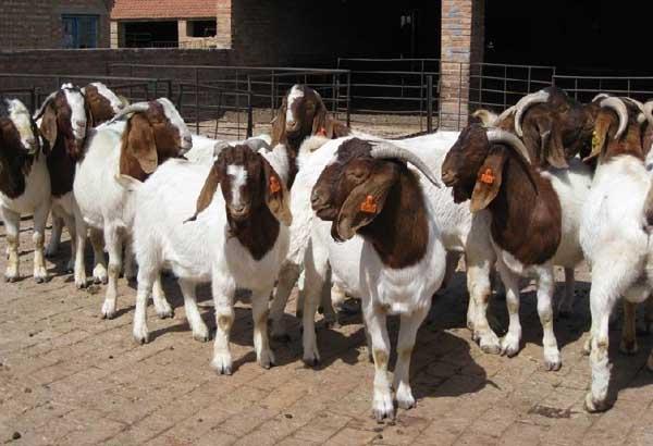 农村羊养殖的常见问题