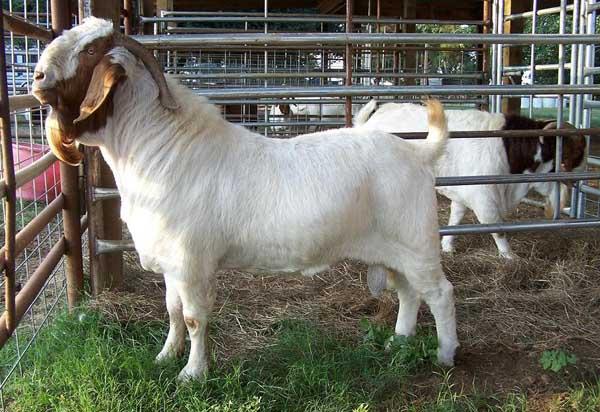 羊传染性脓疮防治方法