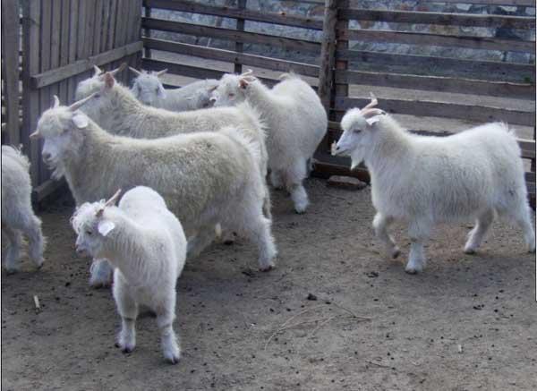 羔羊发生假死的抢救措施