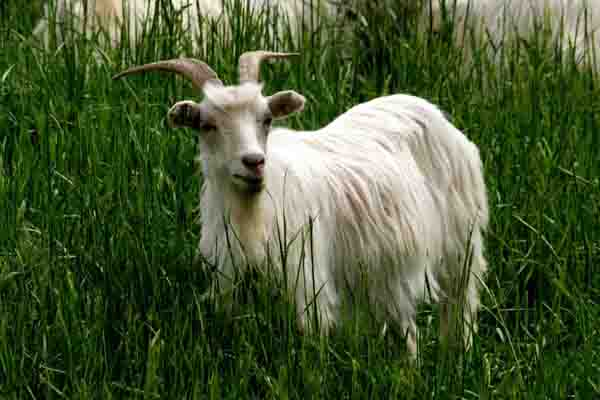 羊腐蹄病防治方法