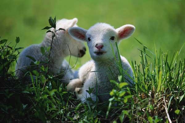 如何养好波尔山羊?