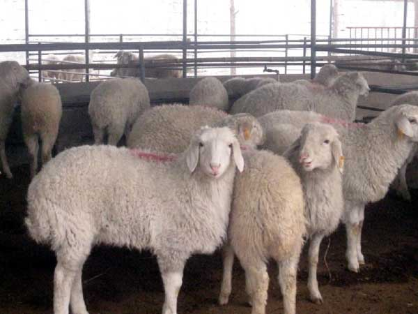 识别山羊疾病的方法