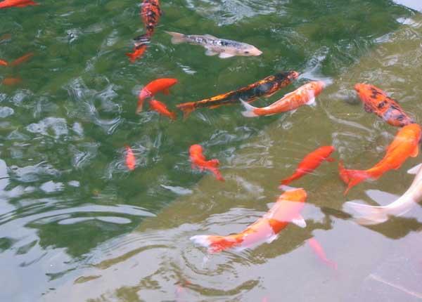 盐在养殖观赏鱼中的作用