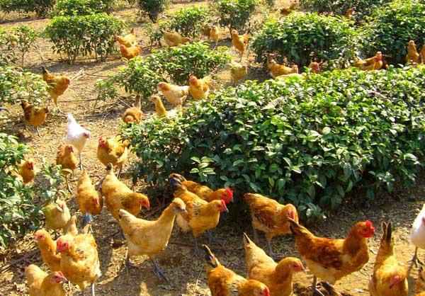 农村养殖业致富项目有哪些?