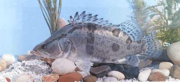 鳜鱼连片池塘养殖技术 - 养鱼技术知识