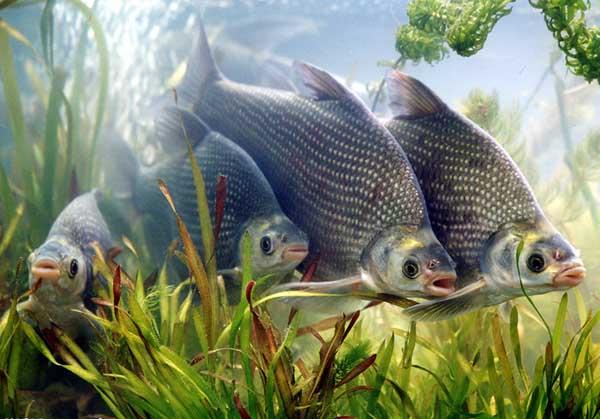 池塘主养鳊鱼产出分析