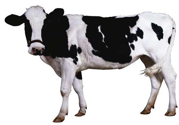 奶牛冬季防冻害技术