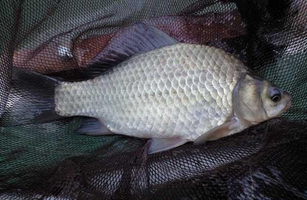 鱼类细菌性疾病与病毒性疾病诊断和治疗
