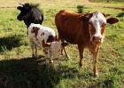 牛患胃肠炎中药治疗方法