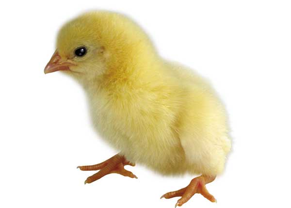 鸡常见寄生虫驱虫方法