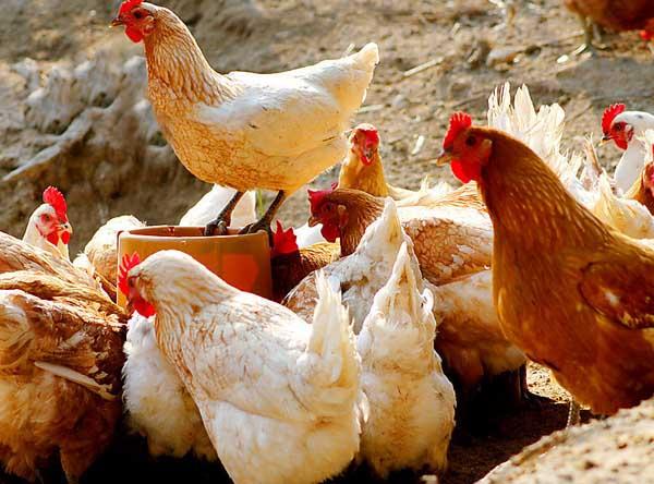 常见鸡病的治疗手册